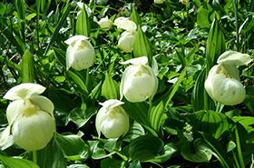 礼文島の植物